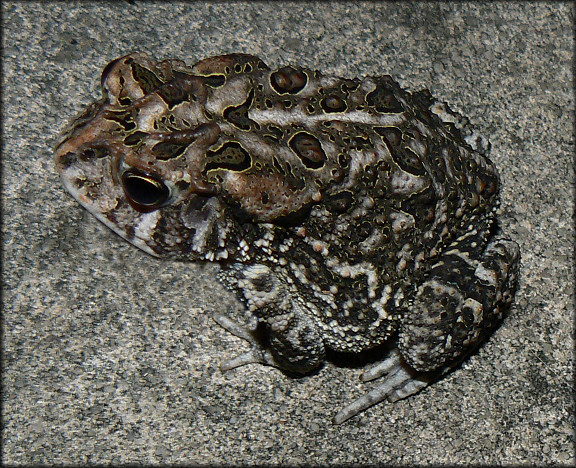 Southern Toad Bufo terrestris