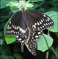 Palamedes Swallowtail [Papilio palamedes] Mating