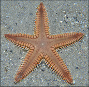 Astropecten duplicatus Two-spined Star Fish