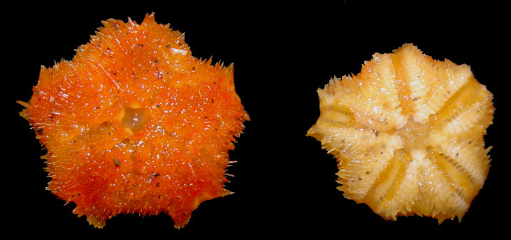 "Pteraster species E ""Spiny Orange Cushion Star"""