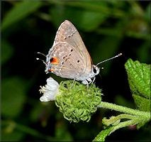 Mallow Scrub Hairstreak [Strymon istapa]