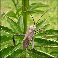 Acanthocephala species Leaf-footed Bug