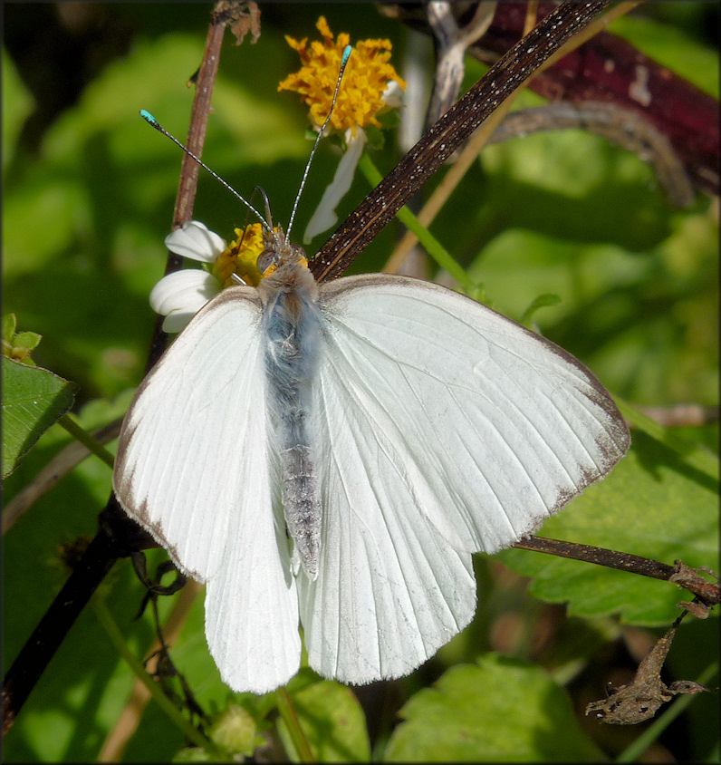 Great Southern White [Ascia monuste]