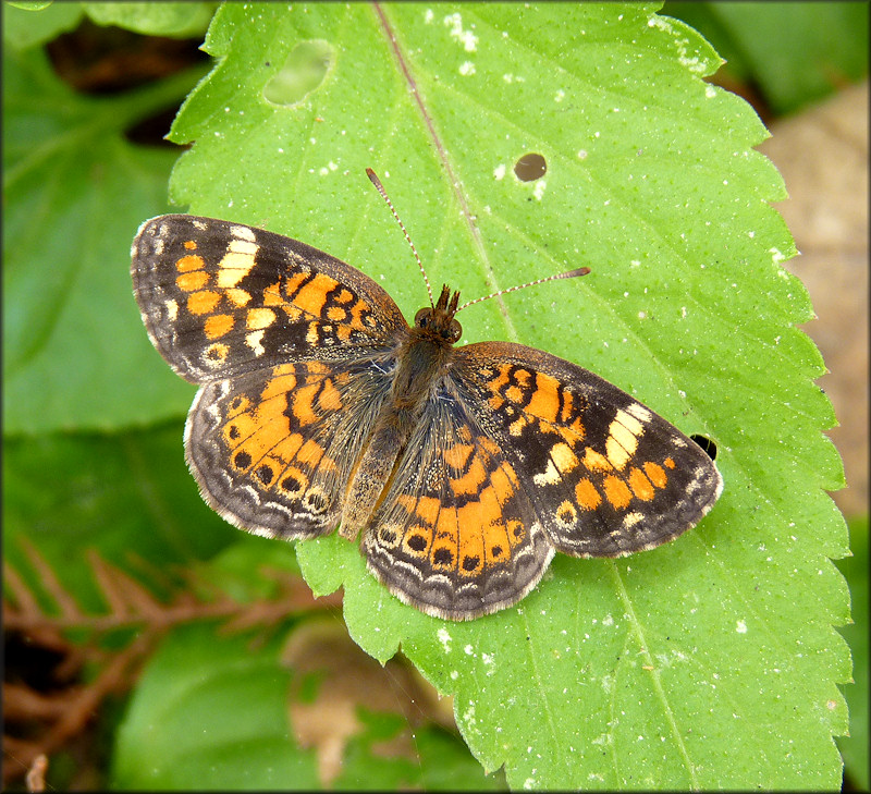 Phaon Crescent [Phyciodes phaon]