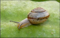 Bradybaena similaris (Férussac, 1821) Asian Tramp Snail