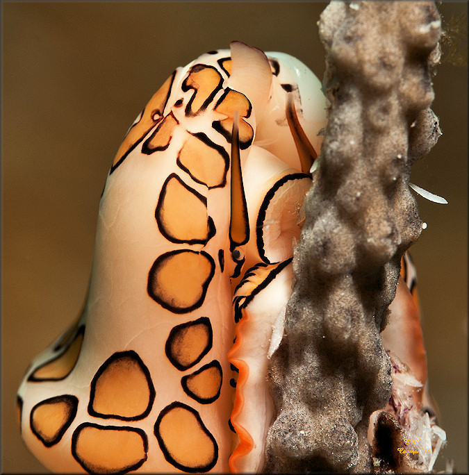 Cyphoma gibbosum (Linnaeus, 1758) Flamingo Tongue Feeding
