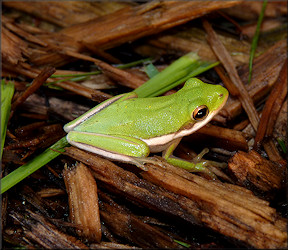 Frogs - tree