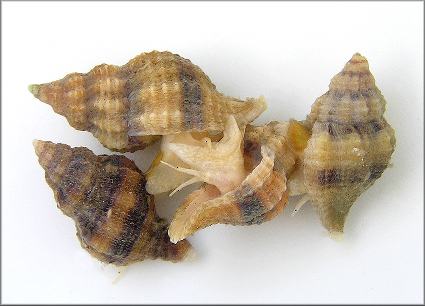 Urosalpinx cinerea (Say, 1822) Atlantic Oyster Drill