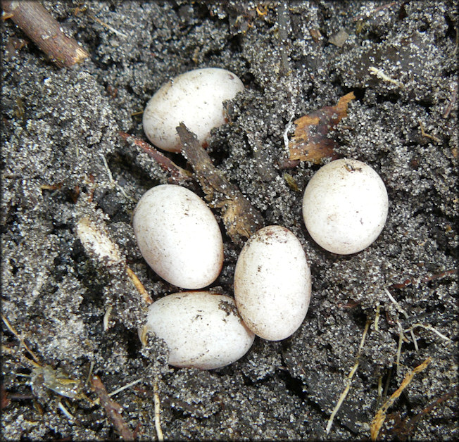 Broad-headed Skink [Plestiodon laticeps] Eggs