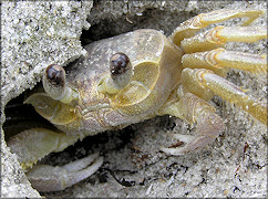 Ocypode quadrata Atlantic Ghost Crab