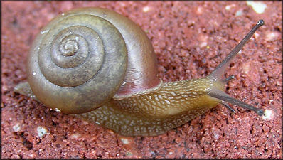 Bradybaena similaris (F�russac, 1821) Asian Tramp Snail