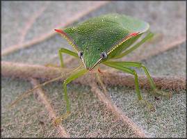 Stink Bug [Family Pentatomidae]