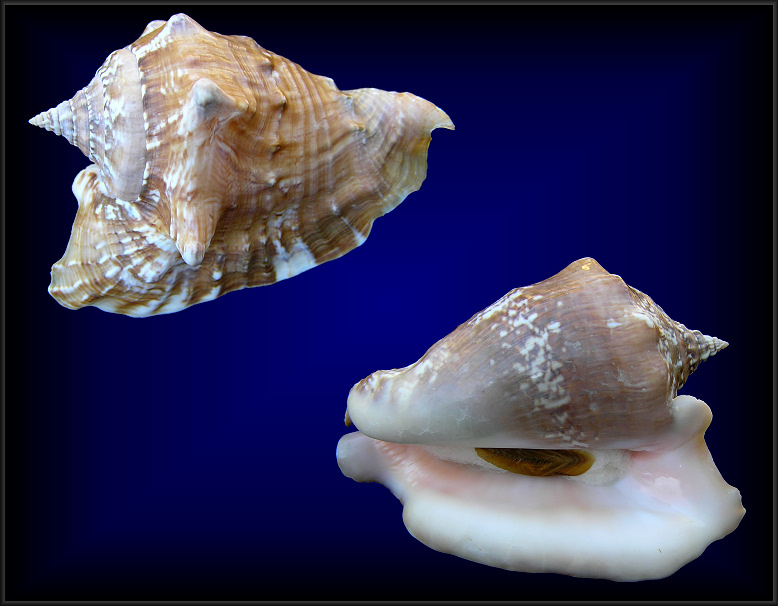 Strombus raninus Gmelin, 1791Hawkwing Conch