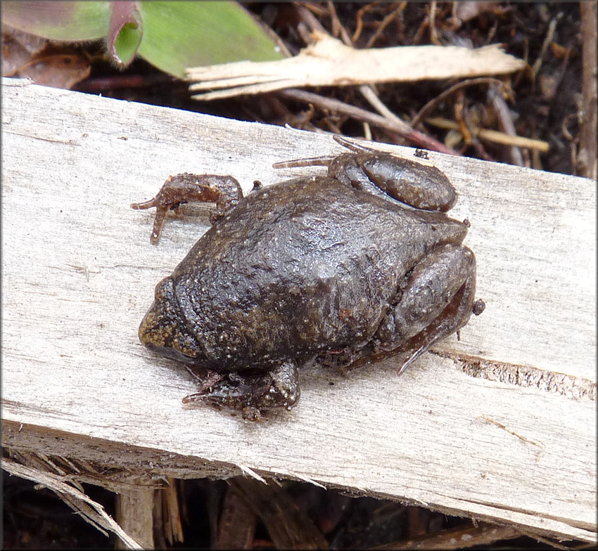 Eastern Narrowmouth Toad Gastrophryne carolinensis