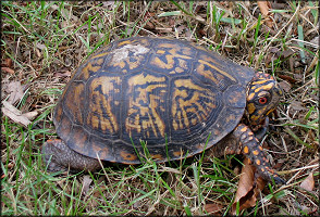 Eastern Box Turtle [Terrapene carolina carolina]