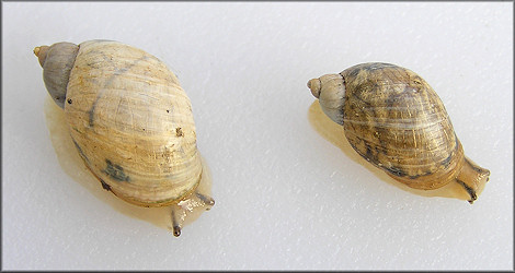 Succinea campestris Say, 1818 Crinkled Ambersnail ?