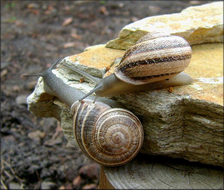 Otala lactea (Müller, 1774) Milk Snail