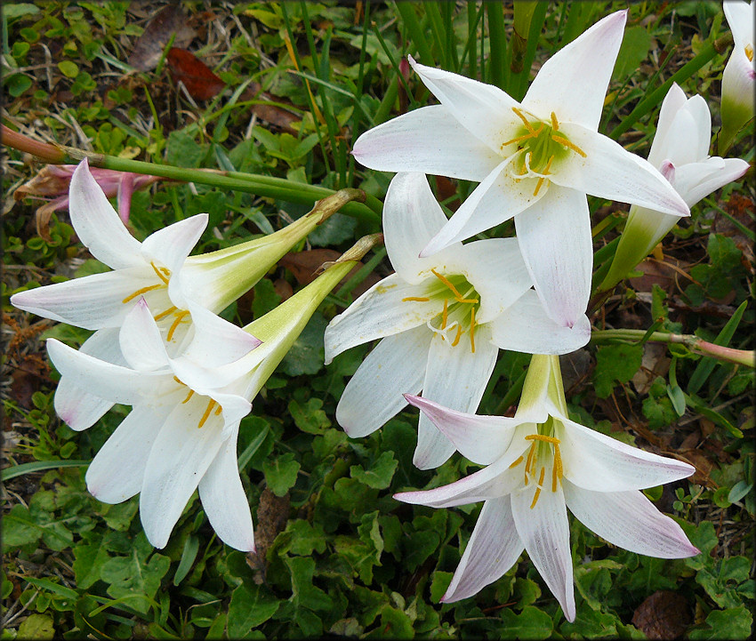 Zephyranthes Lily (probably Zephyranthes atamasco [Atamasco Lily])