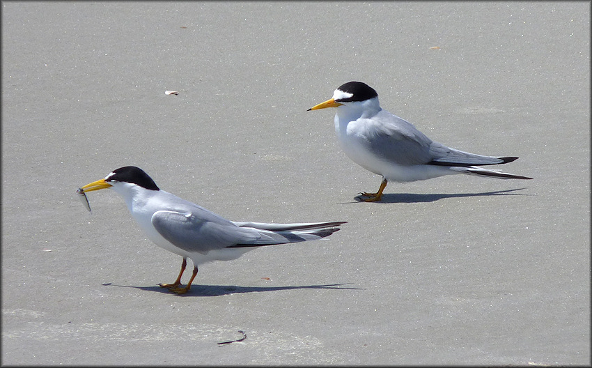 Sterna antillarum Least Tern