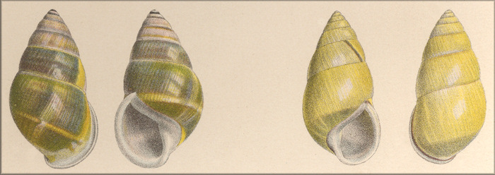 Amphidromus comes (left) & Amphidromus dohrni (right) from Pfeiffer Vol. 3. (1867-1869) plate LXXV