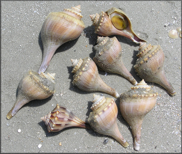 Selection of whelks from Mayport Naval Station (8/10/2006)