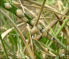 Succinea campestris Say, 1818 Crinkled Ambersnail Mating Aggregation