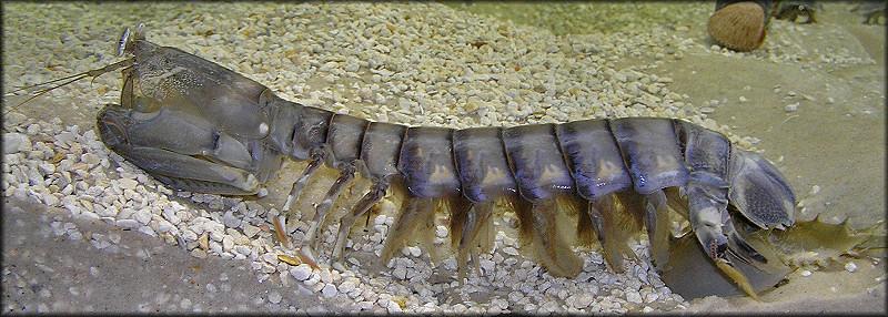 how to catch mantis shrimp in florida