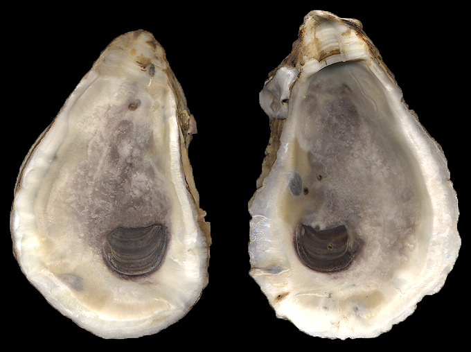 eastern oyster drawing - photo #41