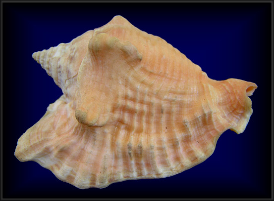 Strombus raninus Gmelin, 1791 Hawkwing Conch