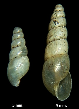 Opeas pyrgula Schmacker and Boettger, 1891 Sharp Awlsnail