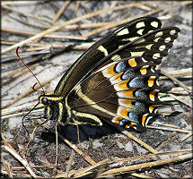 Palamedes Swallowtail [Papilio palamedes]
