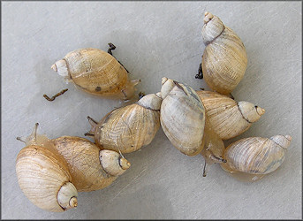 Succinea campestris Say, 1818 Crinkled Ambersnail ? l