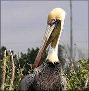 Pelecanus occidentalis Brown Pelican