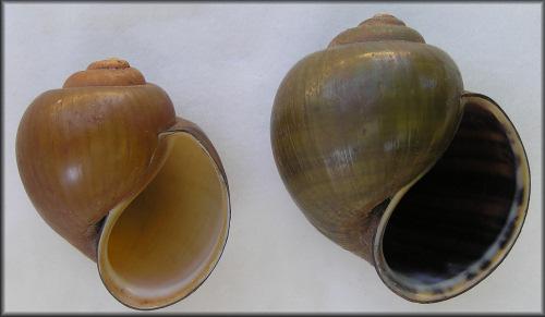 Pila Species