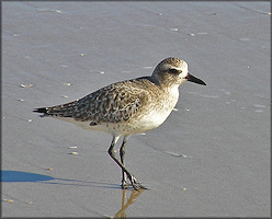 Black-bellied Plover Pluvialis squatarola Winter Plumage