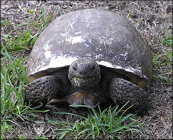 Gopher Tortoise [Gopherus polyphemus]