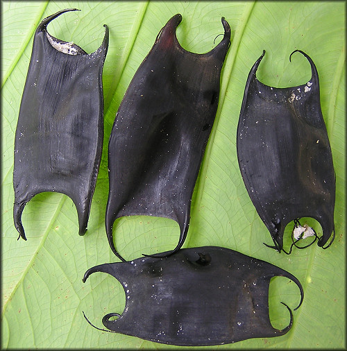 "Skate Egg Cases ""Mermaids Purses"""