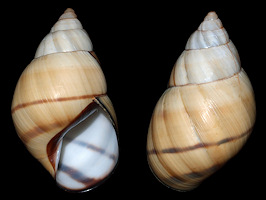 Orthalicus floridensis Pilsbry, 1891 Banded Tree Snail