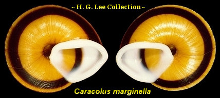 Reverse Coiled Gastropods ~ H. G. Lee Collection ~