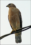 Red-shouldered Hawk [Buteo lineatus]