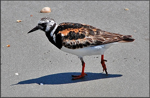 Arenaria interpres Ruddy Turnstone