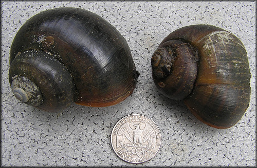 Two Of The Larger Pomacea Shells Found In The Outflow Ditch (2/25/2006)