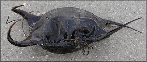 "Skate Egg Case ""Mermaids Purse"""