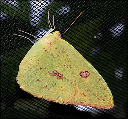 Orange-barred Sulphur [Phoebis philea]