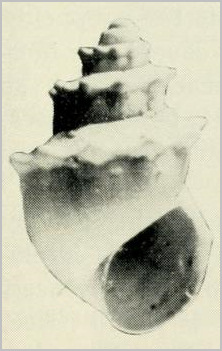 Lectotype, MCZ 278118 selected by R.I. Johnson and Boss (1972: 215; pl. 42, fig. 5)