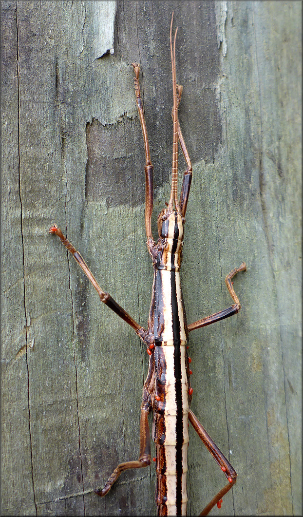 Two-striped Walkingstick [Anisomorpha buprestoides] Female With Parisites