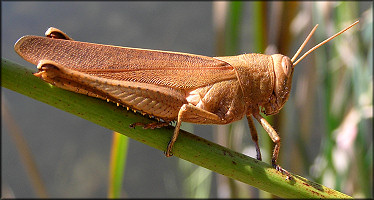 Grasshopper [Schistocerca species]