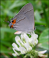 Gray Hairstreak [Strymon melinus]