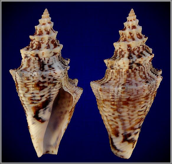 Strombus Gigas Linnaeus 1758 Queen Conch