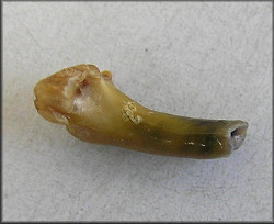 apparent mammalian tooth